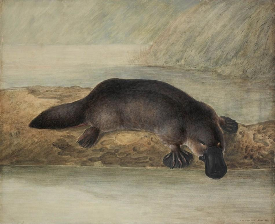 1254px-Platypus_by_Lewin